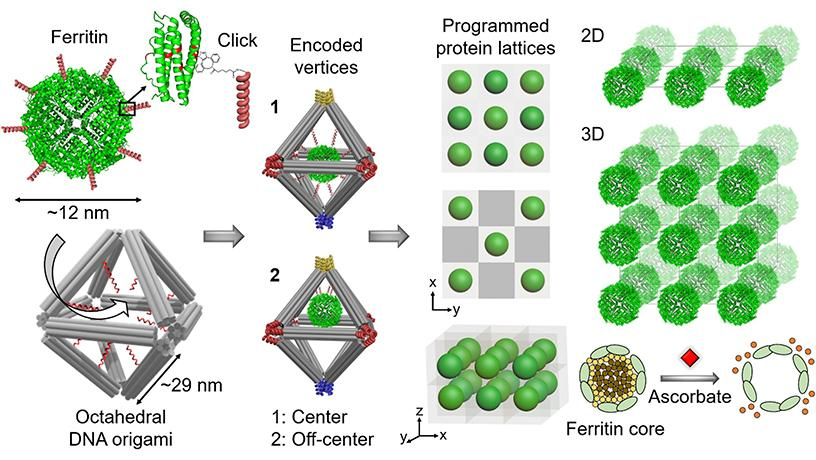 assembling biologically functional proteins into ordered 2D and 3D arrays